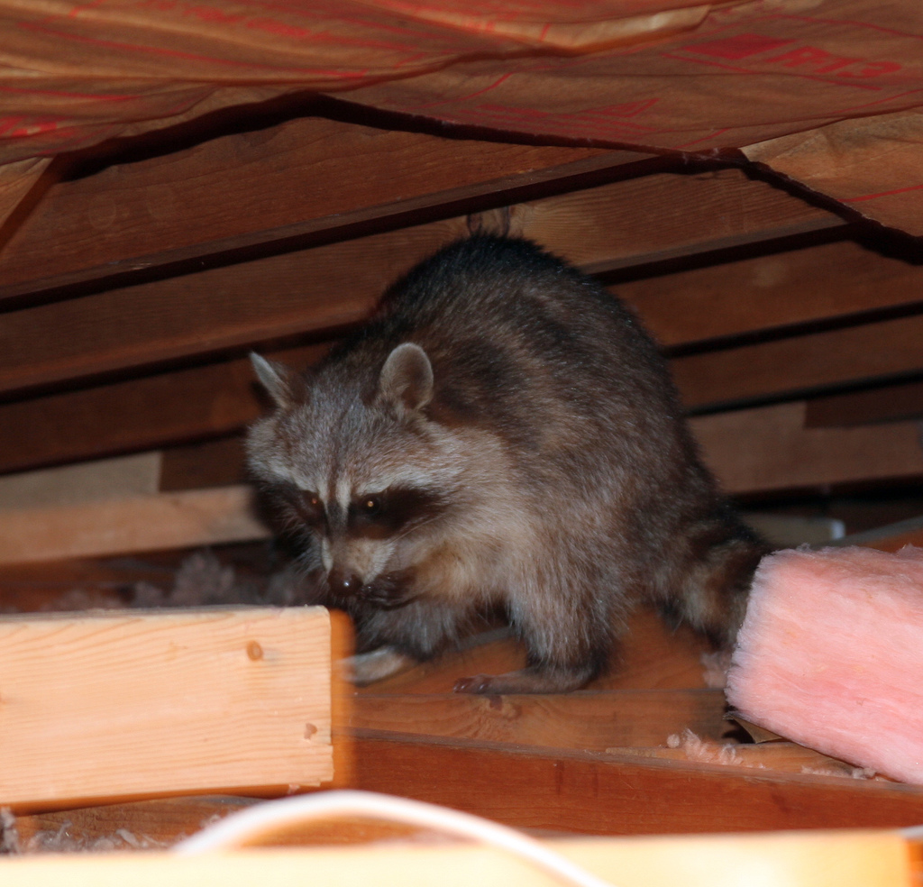 Raccoon in an attic                                                               image © Jim Stewart 2006. All Rights Reserved